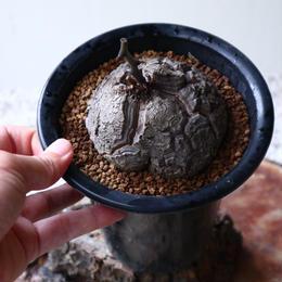 ディオスコレア   亀甲竜    Dioscorea elephantipe  no.923-14