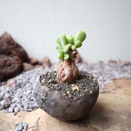 ケラリア  ピグマエア  no.017  Ceraria pygmaea