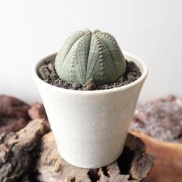 ユーフォルビア  オベサ   no.002    Euphorbia obesa