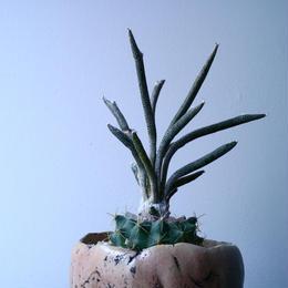 アストロフィツム カプト メデューサ  Astrophytum caputmedusae  No.043
