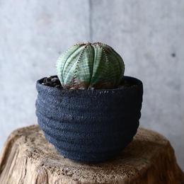 ユーフォルビア  オベサ  Euphorbia obesa  no.014