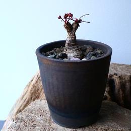 ユーフォルビア シレニフォリア  Euphorbia silenifolia  No.026
