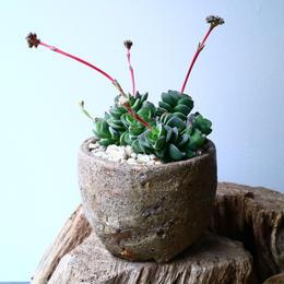 クラッスラ   コラリータ   Crassula Coralita   No.054