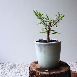 フォークイエリア   プルプシー  no.031  Fouquieria purpusii