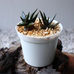 アロエ ジュクンダ    Aloe jucunda  no.102804