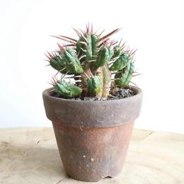 ユーフォルビア  フェロックス    no.003    Euphorbia ferox