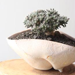 トリコディアデマ     デンスム   紫星晃    no.003   Trichodiadema densum