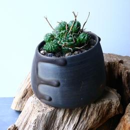 ユーフォルビア  バリダ    Euphorbia valida   No.024