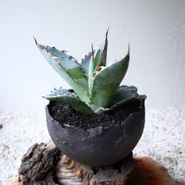 アガベ チタノタ(ランチョタンバー)   no.005-2   agave titanota