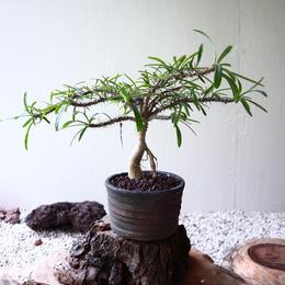 Euphorbia sp  no.81906