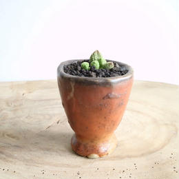 アドロミクス  グリーンボール   no.001   Adromischus marianiae var.herrei Green Ball