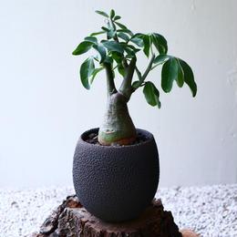 アデニア   グラウカ    Adenia glauca   no.72909