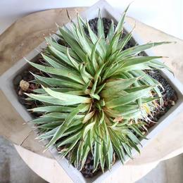 アガベ  笹の雪   綴化  no.003    Agave victoriae-reginae f. crist