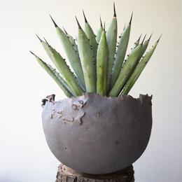 アガベ    マクロアカンサ    no.009  Agave macroacantha