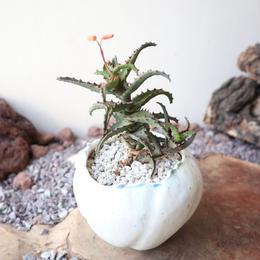 アロエ    カスティロニアエ     ×    片瀬 有美子   Aloe   Castilloniae