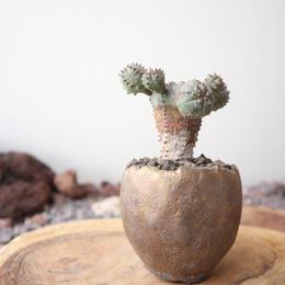ユーフォルビア  オベサ 梵天   no.065   Euphorbia 'Obesa Bonten'