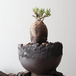パキポディウム   ビスピノーサム   no.011   Pachypodium bispinosum