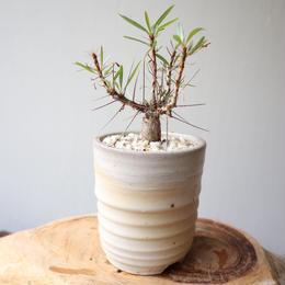 フォークイエリア   プルプシー  no.027  Fouquieria purpusii