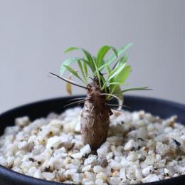 フォークイエリア   プルプシー    Fouquieria purpusii  no.92307