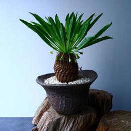 ユーフォルビア    鉄甲丸    Euphorbia bupleurifolia  No.021