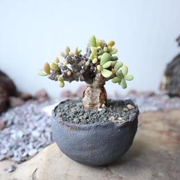 ケラリア  ピグマエア  no.021    Ceraria pygmaea