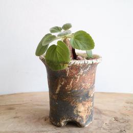 ペラルゴニウム   クルビアンドルム   no.001   Pelargonium curviandrum