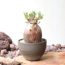 パキポディウム   ビスピノーサム   no.007   Pachypodium bispinosum