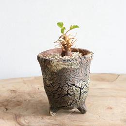 ペラルゴニウム   ボラネンセ    no.001  Pelargonium boranense