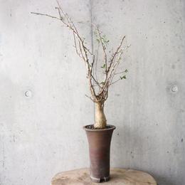 コミフォラ  フンベルティ   no.003  commiphora   humbertii
