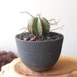 ユーフォルビア  バリダ   no.028   Euphorbia valida
