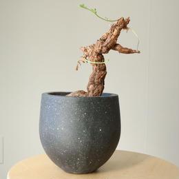 ペラルゴニウム  トリステ  no.001    Pelargonium triste