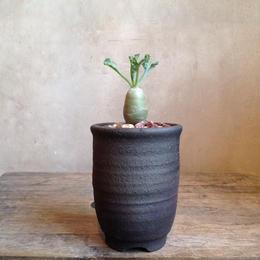 ぺラルゴニウム    クリンガルドテンセ  no.02   Pelargonium klinghardtense