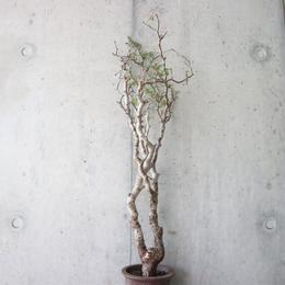 コミフォラ   モンストローサ    np.003    Commiphora monstrosa
