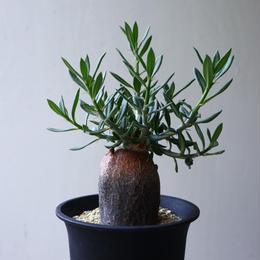 パキポディウム   ビスピノーサム   Pachypodium bispinosum  no.92305