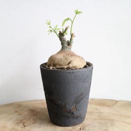 アデニア   グラウカ  no.010   Adenia glauca