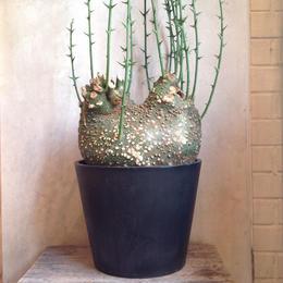 アデニア  グロボーサ    no.08   Adenia globosa