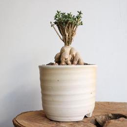 トリコディアデマ    ブルボスム  no.001    Trichodiadema bulbosum