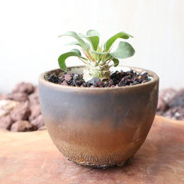パキポディウム   ナマクアナム       光堂   no.005   Pachypodium namaquanum