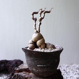 ユーフォルビア   ラバティー   Euphorbia labatii no.81903