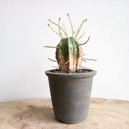 ユーフォルビア  バリダ ♂  no.017   Euphorbia valida