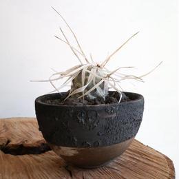 テフロカクタス   アーティキュラータス   武蔵野   no.002   Tephrocactus articulatus