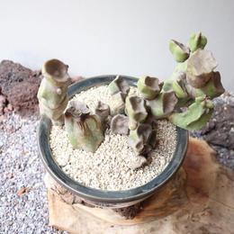 ロフォケレウス  福禄寿    no.010   Lophocereus schottii