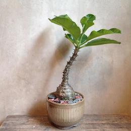 パキポディウム  ウィンゾリー    Pachypodium baronii var. windsorii