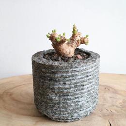 オトンナ    クラビフォリア    no.003    Othonna clavifolia
