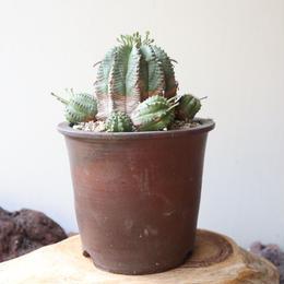 ユーフォルビア  バリダ ♀   no.038  Euphorbia valida