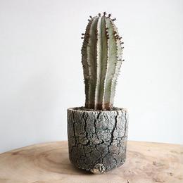 ユーフォルビア  ポリゴナ  no.003   Euphorbia polygona