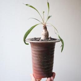 ユーフォルビア   シレニフォリア   no.003    Euphorbia  silenifolia