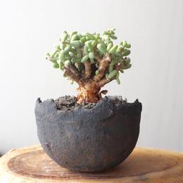 ケラリア  ピグマエア  no.022    Ceraria pygmaea