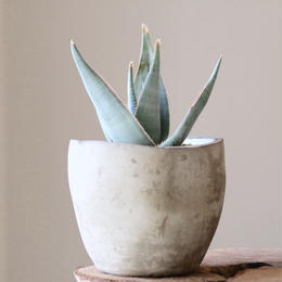 アロエ ラエタ  no.001   Aloe laeta