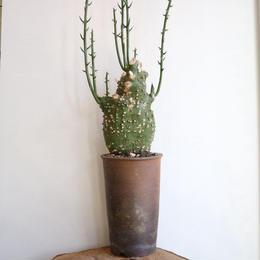 アデニア  グロボーサ    no.001   Adenia globosa